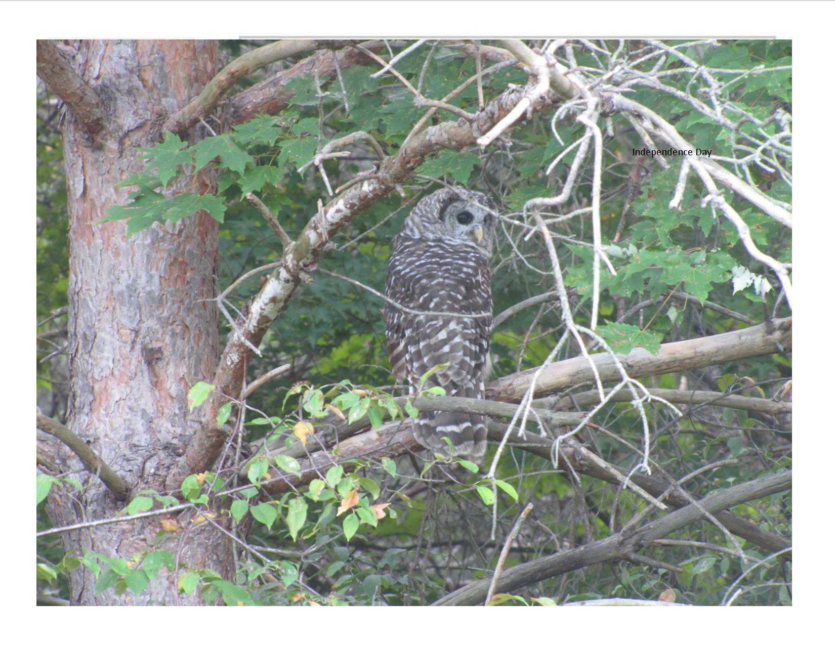 Barred Owl in Habitat   Wildlife Recovery Association