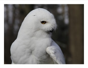 """Snowy"" came to us in 1991.  He is one of the oldest snowy owls in captivity and did programs with us for many years.  He is  now retired and lives with his buddy, Pirate."