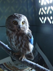 This Saw Whet Owl is recovering from a wing fracture.  She is in a quiet location where she has minimal contact with humans.