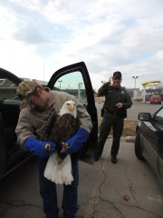 We work with many law enforecement agencies such as conservation officers, police officers, and sheriff departments who assist in rescuing these incredible birds.