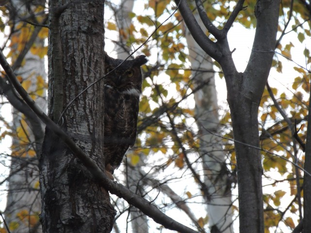 We learn from wild birds, as well as birds in rehabilitation from closely observing their behaviors.  This photo shows a great horned owl that has recovered from injuries, and has just been released.  She is already blending with her habitat, a few minutes later, she was part of the forest.