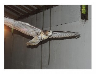 This red-tailed hawk is near release-ready.  Her feet are pulled up, and she is able to fly through the hanging poles with skilled precision.  Her endurance is good, and she is already flying several miles each day inside the flight cage.