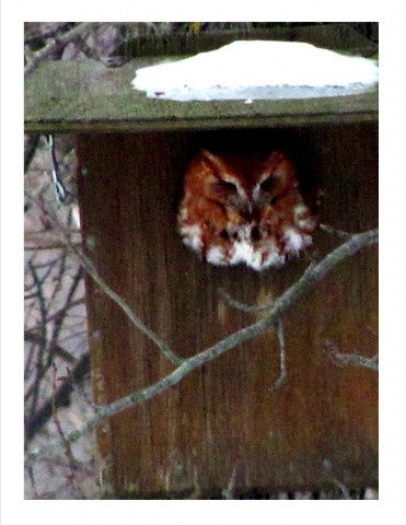 Screech Owl in nest box. CLICK IMAGE TO ENLARGE
