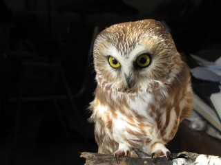 Northern Saw Whet Owl Itsy Bitsy may be one of the tiniest owls in the world, but she makes up for it with her attitude.  Her species are rarely seen, as they must live in dense conifer forests and nest in hollow trees.