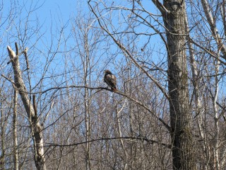 Although this red-tailed hawk is a mature bird with rusty red tail, he blends in well with branches.