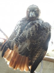 This is an adult red-tailed hawk with rusty  red tail and dark eyes.