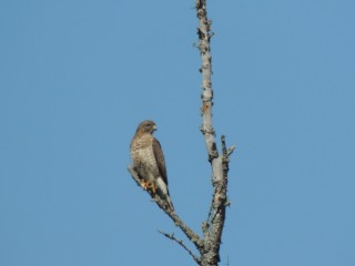 Broadwing Hawks are secretive, but will perch in the open in wetlands.