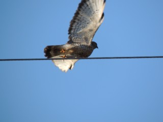 Note the white underside of this Broadwing Hawk.
