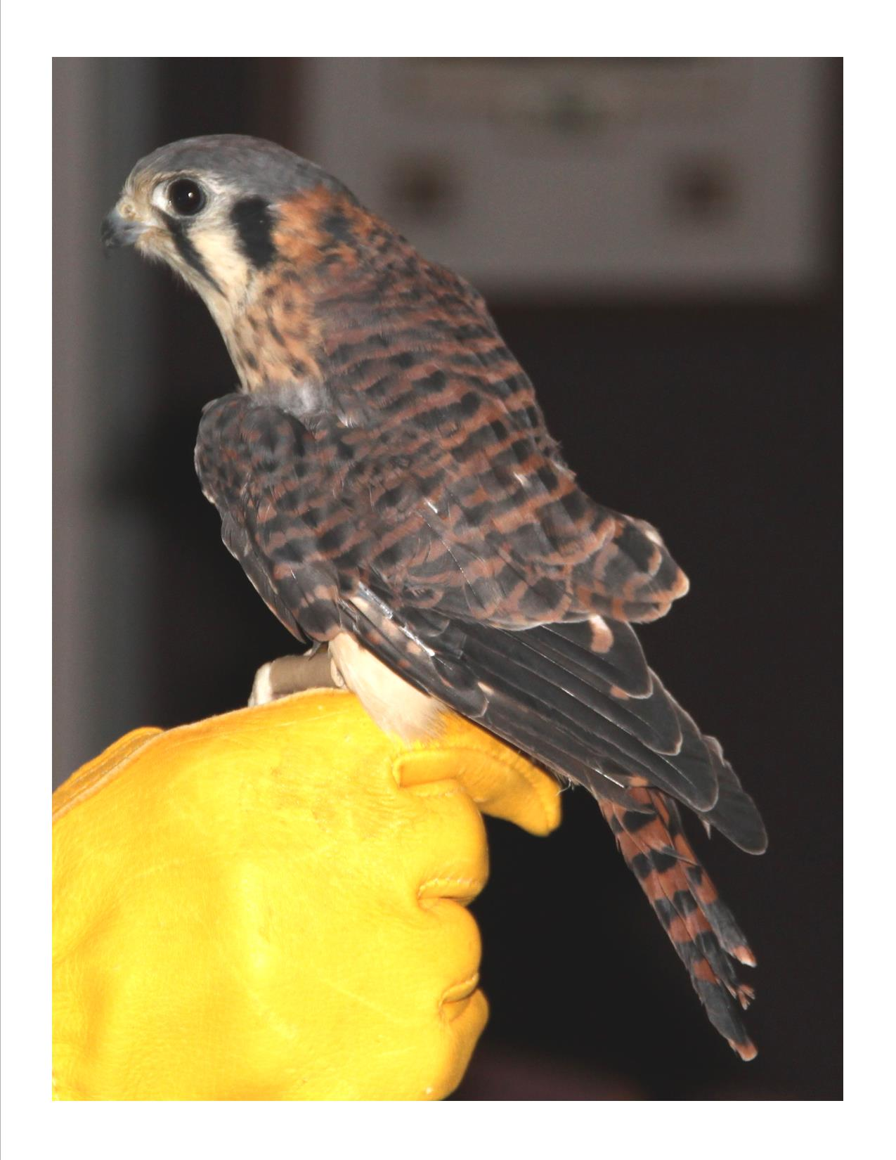 Penny is a beautiful female American Kestrel, a small falcon. Kestrels are extremely agile in flight and hav many special adaptation to help them survive. Her hunting techniques are unique, as are her adaptations that help ward off larger hawks from stealing her food.