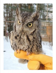 Sparkle is a grey phase Eastern Screech Owl.  She intrigues the audience with her ability to rotate her head 270 degrees, and to blend in with the forest when her eyes are closed.  She can look just like the bark of a tree!