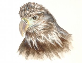 Immature Bald Eagle in watercolor by Suzi Youatt