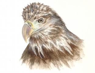 Immature Bald Eagle in watercolor by Suzi Youatt