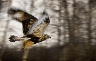 Rough-legged hawks in flight are often mistaken for immature bald eagles because of their mottled color.  Photo by Paige Calamari