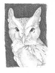 Eastern Screech Owl in pen and ink by Joanna Rogers